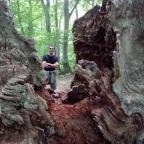 Nordskovens ældgamle egetræer